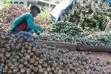 Jelang Ramadhan, warga Andaleh Baruah Bukik mulai produksi buah kolang kaling (Video)