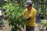 Harga cabai di  Sangihe Rp110 ribu per kilogram
