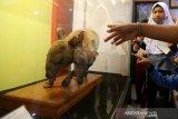 Pelajar melihat opsetan satwa langka dan unik di museum Aceh, Banda Aceh, Aceh, Kamis (8/4/2021). Kerbau berkepala dua berwarna kecoklatan yang lahir pada tahun 1953 dan sejak 3 Juli 1994 opsetan itu resmi menjadi koleksi museum Aceh. Antara Aceh/Irwansyah Putra.