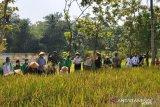 Pemkab Kulon Progo kembangkan Inpari IR Nutri Zinc di lahan cetak sawah baru