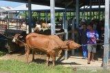 TRANSAKSI TERNAK  JELANG TRADISI MEUGANG RAMADHAN DI PASAR HEWAN. Warga menurunkan ternak sapi dari mobil barang saat tiba di pasar hewan tradisional, Desa Cot Irie, Kecamatan Krueng Baruna Jaya, Kabupaten Aceh Besar, Aceh, Sabtu (10/4/2021). Menjelang tradisi meugang (hari memotong ternak) menyambut bulan Ramadhan 1422 H di daerah itu, harga penawaran sapi lokal dan sapi peranakan kisaran Rp 14 juta hingga Rp 40 juta per ekor menurut besarannya  atau naik sekitar 15 persen dari harga sebelumnya. ANTARA FOTO/Ampelsa.