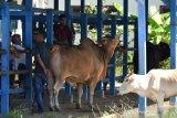 TRANSAKSI TERNAK  JELANG TRADISI MEUGANG RAMADHAN DI PASAR HEWAN. Pedagang dan peternak melakukan transaksi jual beli sapi di pasar hewan tradisional, Desa Cot Irie, Kecamatan Krueng Baruna Jaya, Kabupaten Aceh Besar, Aceh, Sabtu (10/4/2021). Menjelang tradisi meugang (hari memotong ternak) menyambut bulan Ramadhan 1422 H di daerah itu, harga penawaran sapi lokal dan sapi peranakan kisaran Rp 14 juta hingga Rp 40 juta per ekor menurut besarannya  atau naik sekitar 15 persen dari harga sebelumnya. ANTARA FOTO/Ampelsa.