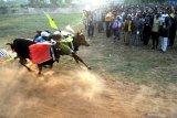 Joki berusaha menghentikan laju pasangan sapi 'Asem Manis' usai melewati garis finish saat final kejuaraan kerapan sapi se Madura di Desa Mortajih, Pamekasan, Jawa Timur, Minggu (11/4/2021). Kejuaraan kerapan sapi golongan A tersebut dimenangi oleh pasangan sapi 'Asem Manis' (Sampang) disusul Pasangan Banyu Biru (Bangkalan) dan Bun Lokke (Bangkalan). Antara Jatim/Saiful Bahri/zk.