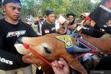 Kru menyirami  pasangan sapi 'Asem Manis' dengan air sesaat setelah menjadi juara pada kejuaraan kerapan sapi se Madura di Desa Mortajih, Pamekasan, Jawa Timur, Minggu (11/4/2021). Kejuaraan kerapan sapi golongan A tersebut dimenangi oleh pasangan sapi 'Asem Manis' (Sampang) disusul Pasangan Banyu Biru (Bangkalan) dan Bun Lokke (Bangkalan). Antara Jatim/Saiful Bahri/zk.