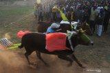 Sejumlah penonton menyaksikan pasangan sapi 'Asem Manis' saat melewati garis finish pada final kejuaraan kerapan sapi se Madura di Desa Mortajih, Pamekasan, Jawa Timur, Minggu (11/4/2021). Kejuaraan kerapan sapi golongan A tersebut dimenangi oleh pasangan sapi 'Asem Manis' (Sampang) disusul Pasangan Banyu Biru (Bangkalan) dan Bun Lokke (Bangkalan). Antara Jatim/Saiful Bahri/zk.