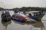 Sejumlah tim gabungan memeriksa bangkai ikan paus yang terdampar di pantai Bungko, Kapetakan, Kabupaten Cirebon, Jawa Barat, Selasa (13/4/2021). Bangkai ikan paus yang diduga jenis Paus Sperma (Physeter Macrocephalus) sepanjang 15 meter itu ditemukan terdampar oleh nelayan dalam kondisi mati pada Minggu (11/4) lalu. ANTARA JABAR/Dedhez Anggara/agr