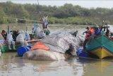 Sejumlah tim gabungan memeriksa bangkai ikan paus yang terdampar di pantai Bungko, Kapetakan, Kabupaten Cirebon, Jawa Barat, Selasa (13/4/2021). Bangkai ikan paus yang diduga jenis Paus Sperma (Physeter macrocephalus) sepanjang 15 meter itu ditemukan terdampar oleh nelayan dalam kondisi mati pada Minggu (11/4) lalu. ANTARA FOTO/Dedhez Anggara/nym.
