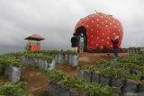 Kebun Stoberi Alahan Panjang Diminati Wisatawan