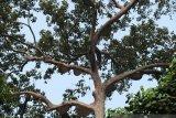 KLHK tetapkan Pohon adat Sialang sebagai pohon dilindungi