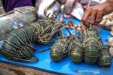 Larangan Ekspor Benih Lobster