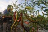 Petani memanen cabai merah di  Desa Bunder, Pamekasan, Jawa Timur, Kamis (15/4/2021). Harga cabai merah di tingkat petani di daerah itu berisar Rp30 ribu hingga Rp38 ribu per kg atau naik dari bulan lalu Ep28 ribu hingga Ep35 ribu per kg. Antara Jatim/Saiful Bahri/zk