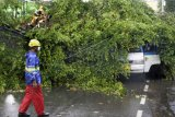 Sejumlah petugas berusaha menyingkirkan pohon tumbang yang menimpa sebuah kendaraan roda empat di Alun-alun Serang, Banten, Kamis (15/4/2021). Pohon yang diperkirakan berusia belasan tahun itu tumbang akibat angin kencang dan hujan deras yang terjadi sejak Kamis pagi. ANTARA FOTO/Asep Fathulrahman/ rwa.