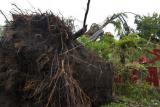 Petugas berusaha menyingkirkan pohon beringin yang tumbang di Alun-alun Serang, Banten, Kamis (15/4/2021). Pohon yang diperkirakan berusia belasan tahun itu tumbang akibat angin kencang dan hujan deras yang terjadi sejak Kamis pagi. ANTARA FOTO/Asep Fathulrahman/rwa.