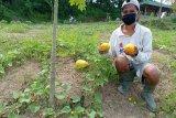 Warga binaan Lapas Rangkasbitung Banten panen timun suri