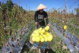 Pekerja memanen buah melon golden di Muara Bulian, Batanghari, Jambi, Jumat (16/4/2021). Selama bulan Ramadhan, omzet penjualan melon yang dijual Rp20 ribu per kilogram tersebut berkisar antara Rp10 juta sampai Rp15 juta per hari. ANTARA FOTO/Wahdi Septiawan/wsj.