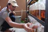 Bisnis ikan hias Lampung selama pandemi COVID-19 makin menggeliat