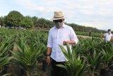 150 ribu bibit sawit unggulan PTPN V ludes terjual secara daring
