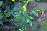 Seekor harimau Sumatera (Phantera tigris sumatrae) berada di dalam kandang Kebun Binatang Taman Rimba, Jambi, Minggu (18/4/2021). Kebun binatang satu-satunya di Jambi tersebut saat ini tengah dalam proses pengajuan pemindahan pengelolaan dari Dinas Tanaman Pangan, Hortikultura, dan Pertanian (TPHP) Provinsi Jambi ke Dinas Kebudayaan dan Pariwisata (Disbudpar) setempat guna memaksimalkan pelayanan dan jumlah kunjungan. ANTARA FOTO/Wahdi Septiawan/aww.