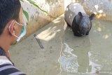 VIDEO - Seekor tapir liar nyasar ke kolam warga di Pekanbaru