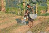 Petani menyiram tanaman bawang merah  di Kelurahan Kolpajung, Pamekasan, Jawa Timur, Selasa (20/4/2021). Untuk menghindari gagal panen atau penurunan produksi, petani bawan bawang merah di daerah itu mengaku harus mengeluarkan biaya ekstra untuk membeli pestisida karena tingginya serangan hama ulat dalam beberapa hari terakhir. Antara Jatim/Saiful Bahri/zk.
