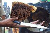 Pawang lebah memindahkan koloni lebah madu yang bersarang secara liar di kotak