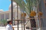 Buah kurma. Seorang warga melihat pohon kurma yang mulai berbuah di halaman belakang Masjid Keuchik Leumik di Lamseupeung Kota Banda Aceh, Rabu (21/4). Antara Aceh/Azhari