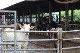 Pengembangan 'desa seribu sapi' di Lampung dorong swasembada daging