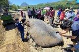 Ikan paus terdampar di pantai Tulungagung akhirnya dikubur