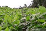 Distan Baubau kembanghkan kedelai 75 ha didua kecamatan
