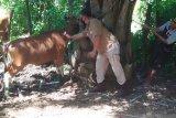 Mukomuko gratiskan biaya vaksin cegah virus jembrana pada ternak sapi