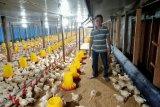 Ini seorang petenak ayam di Pasaman dengan omzet capai Rp130 Juta per lima puluh hari (Video)