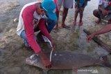 Seeokor mamalia laut jenis dugong terdampar di Sabu Raijua