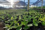 PLN membantu puluhan ribu bibit kopi di Sembalun, Lombok