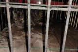 BKSDA evakuasi macan dahan di Pasaman Barat