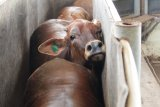 Feedlotter Lampung jamin ketersedian stok sapi jelang Lebaran