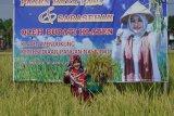 Bupati Klaten panen perdana padi Rojolele Srinuk