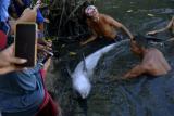 Warga memegang seekor lumba-lumba gigi kasar (steno bredanensis) yang terdampar di tambak ikan di Desa Marannu, Kabupaten Maros, Sulawesi Selatan, Jumat (30/4/2021). Lumba-lumba tersebut ditemukan warga di area tambak ikan dalam kondiisi terluka pada (29/4/2021). ANTARA FOTO/Abriawan Abhe/hp.