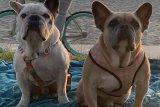 Kelompok penculik anjing Lady Gaga berhasil ditangkap