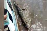 Seekor buaya besar mati terdampar di pinggir Sungai Mentaya