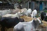 Sulawesi Tengah bisa penuhi kebutuhan daging sapi dari peternak lokal