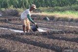 Petani menyiapkan lahan untuk ditanami bawang merah di Desa Paron, Kediri, Jawa Timur, Senin (3/5/2021). Badan Pusat Statistik (BPS) mencatat Nilai Tukar Petani (NTP) nasional pada Bulan April 2021 sebesar 102,93 atau turun 0,35 persen dari Maret 2021 yang mencapai 103,29. Antara Jatim/Prasetia Fauzani/zk