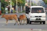 Hewan Ternak Liar Ganggu Pengguna Jalan
