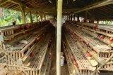 Peternak ayam petelur Kulon Progo mengeluhkan tingginya harga pakan