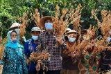 Kelompok tani Bantul panen raya kedelai di bulak Nogosari seluas 9,7 hektare