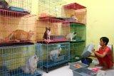 Pekerja merawat kucing di tempat penitipan hewan di Lowokwaru, Malang, Jawa Timur, Rabu (5/5/2021). Pelaku usaha jasa penitipan hewan setempat mengatakan, menjelang Lebaran usahanya mengalami  peningkatan permintaan hingga dua kali lipat yaitu dari 30 ekor menjadi 60 ekor  dengan tarif Rp20 ribu hingga 50 ribu rupiah per hari tergantung jenis hewan dan ukuran. Antara Jatim/Ari Bowo Sucipto/zk