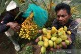 Petani marawat dan memanen buah kurma di perkebunan Taman Kurma Pelangi, lembah Berbate, Aceh Besar, Aceh, Kamis (6/5/2021). Ratusan hektare kebun kurma di lembah Berbate menjadi objek wisata baru dan buah kurma hasil panen juga dijual Rp450 ribu per kilogram. Antara Aceh/Irwansyah Putra.