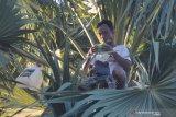 Warga menuang sadapan enau atau legen di Desa Dasok, Pamekasan, Jawa Timur, Selasa (18/5/2021). Legen merupakan salah satu minuman tradisional di wilayah Jawa Timur dan dijual berkisar  Rp20.000 per 1.5 Liter. Antara Jatim/Saiful Bahri/zk