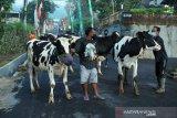 Gelar tradisi Syawalan, warga Lereng Merapi arak ternak dengan prokes ketat