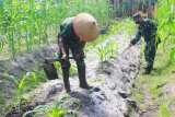 Kodim 1016/PLK budidayakan jagung untuk ketahanan pangan prajurit