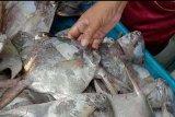 Nelayan Cilacap mulai masuki masa panen ikan